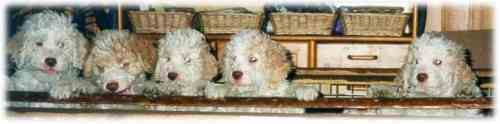 Lagotto puppies in a row